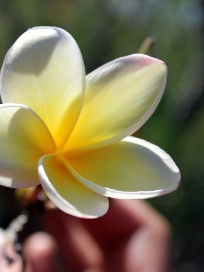 Photo d'une fleur de Tiara